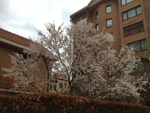 耳あてをしていても寒いくらいのブリュッセルで、桜が満開。